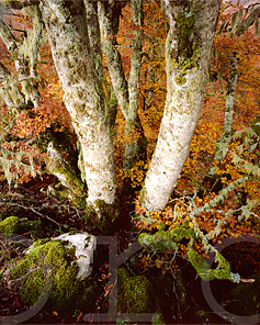 Lichen and beech trees, Urbasa