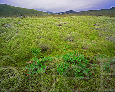 Dwarf willow on a moss-covered lava field